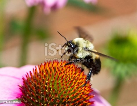 Bumblebee taking to flight from a cone flower.