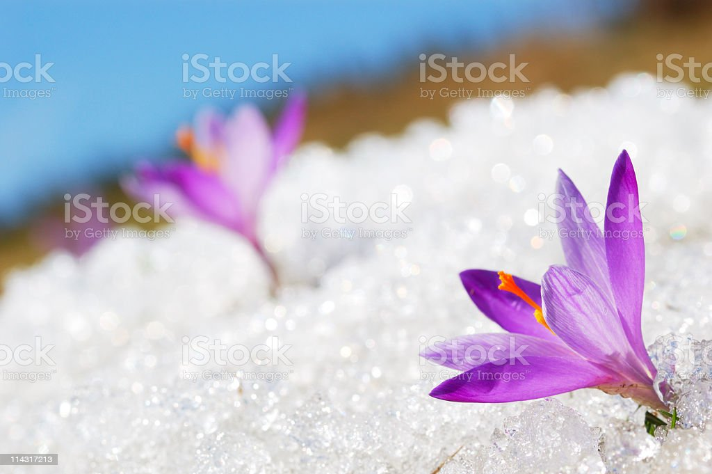 In focus image of a purple crocus in the snow stock photo
