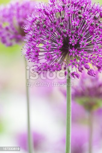 Allium is the onion genus, with about 1250 species, making it one of the largest plant genera in the world. Members of the genus include many valued vegetables such as onions, shallots, leeks and herbs such as garlic and chives.