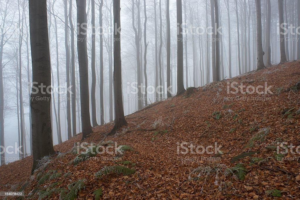 In frosty beechwood royalty-free stock photo