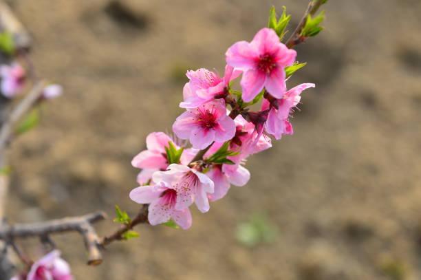 In full bloom in the peach blossom – zdjęcie