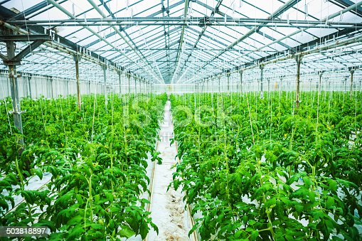 istock in greenhouse 502818897