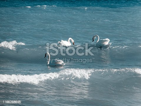 Blue and white. Three swans swimming through the calm water.