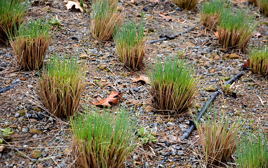 in March, gardeners cut ornamental grass in the park. some will begin to grow with new clumps of green leaves. They grow in flower beds behind a low protective fence made of ropes and wooden posts.