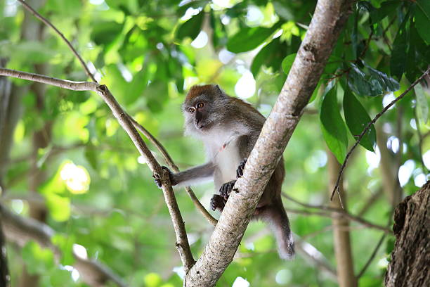 in natural habitat,  playing and moving around, Rawi Island, Satun. stock photo