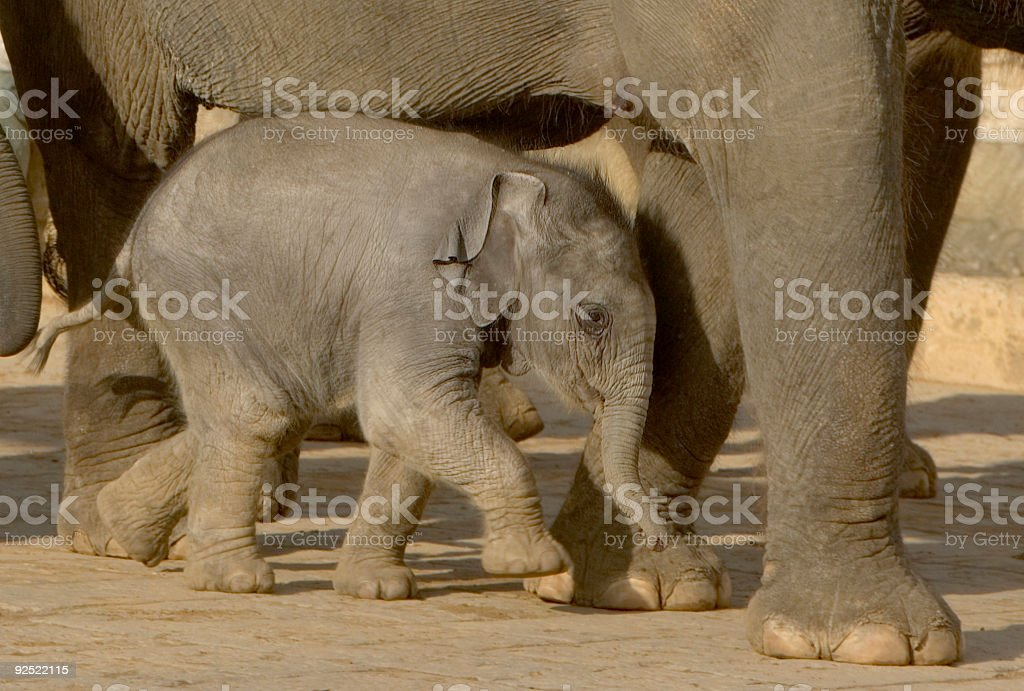 In need of protection - elephant calf under its mother stock photo