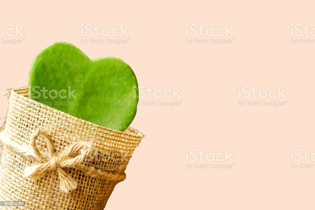 HOYA CACTUS in sackcloth flower pot make oblique stock photo