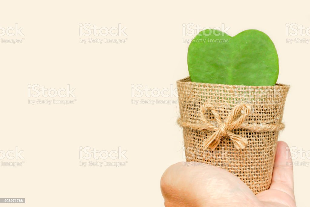HOYA CACTUS in sackcloth flower pot on hand stock photo