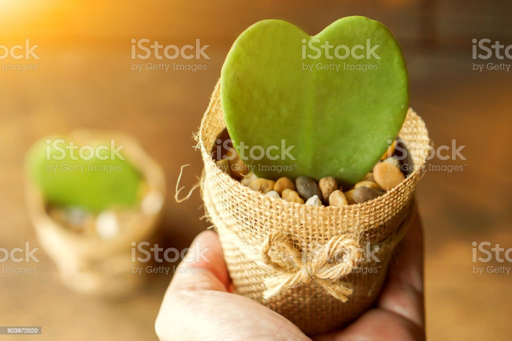 HOYA CACTUS in sackcloth flower pot on hand with sun flare stock photo