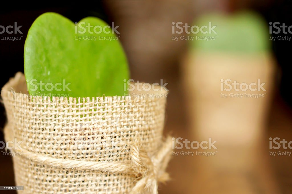 HOYA CACTUS in sackcloth flower pot stock photo