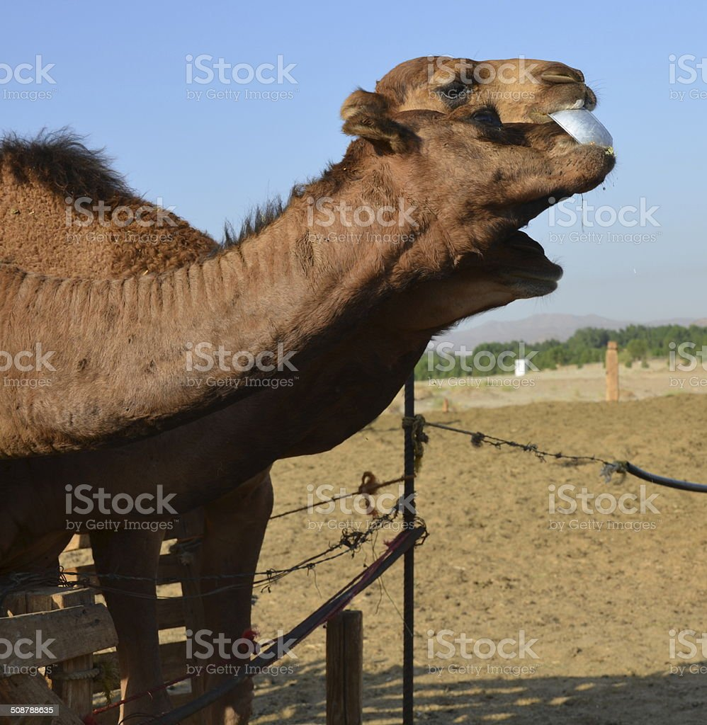 In Saudi Arabia, the camel royalty-free stock photo