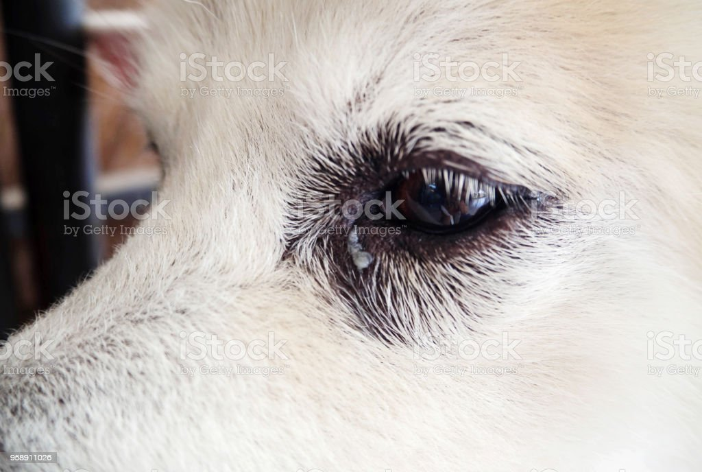 In selective focus of dog eye ,excretions from the eye ; gums...