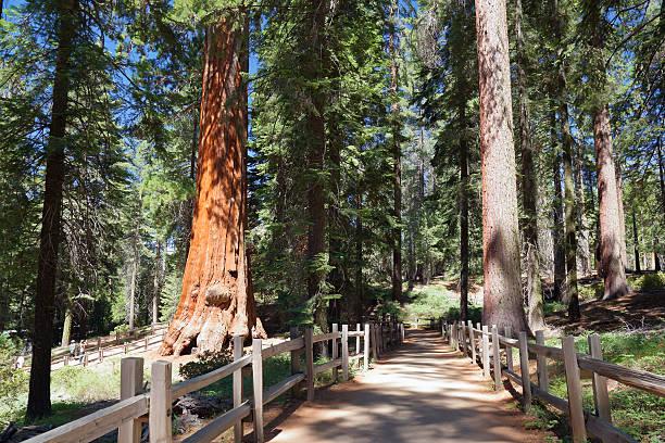 In Sequoia stock photo