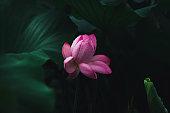 In spring, blooming lotus, lotus leaves and buds