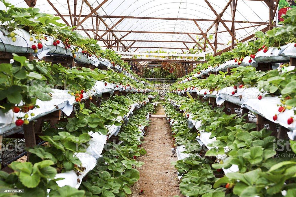 In strawberry plantation stock photo