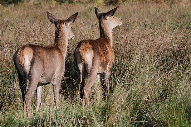 red deer hind and fawn with ears pricked - whiteway deer stock photos and pictures