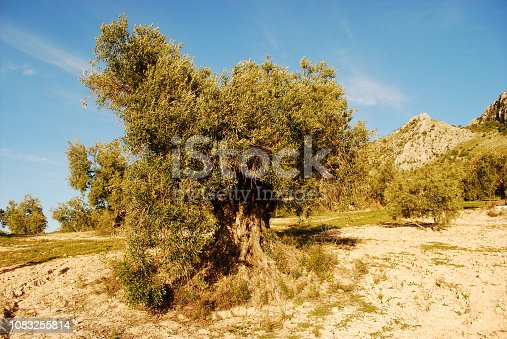 1135138312istockphoto in the beautiful centenary olive trees 1083255814