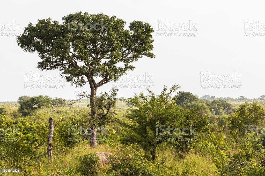 In the bush of Kruger National Park at morning time stock photo