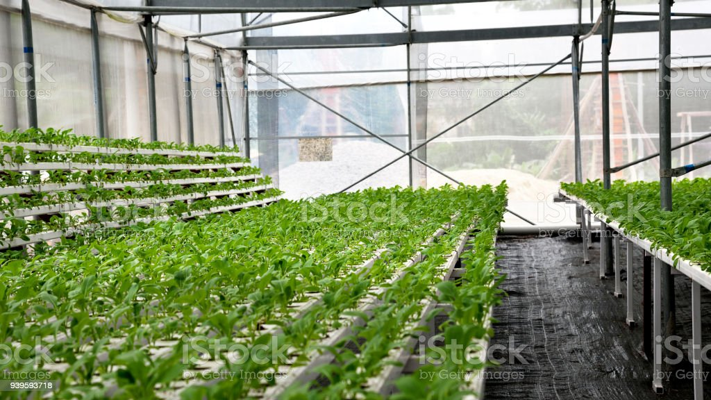 In the commercial greenhouse soilless cultivation of vegetables stock photo