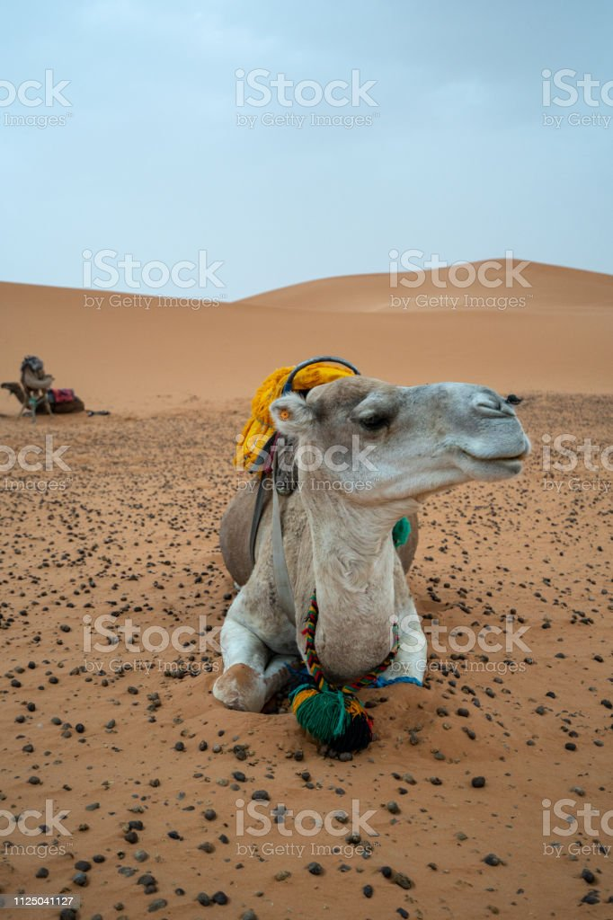 In the early morning, a camel is posing in the Sahara desert of Morocco stock photo