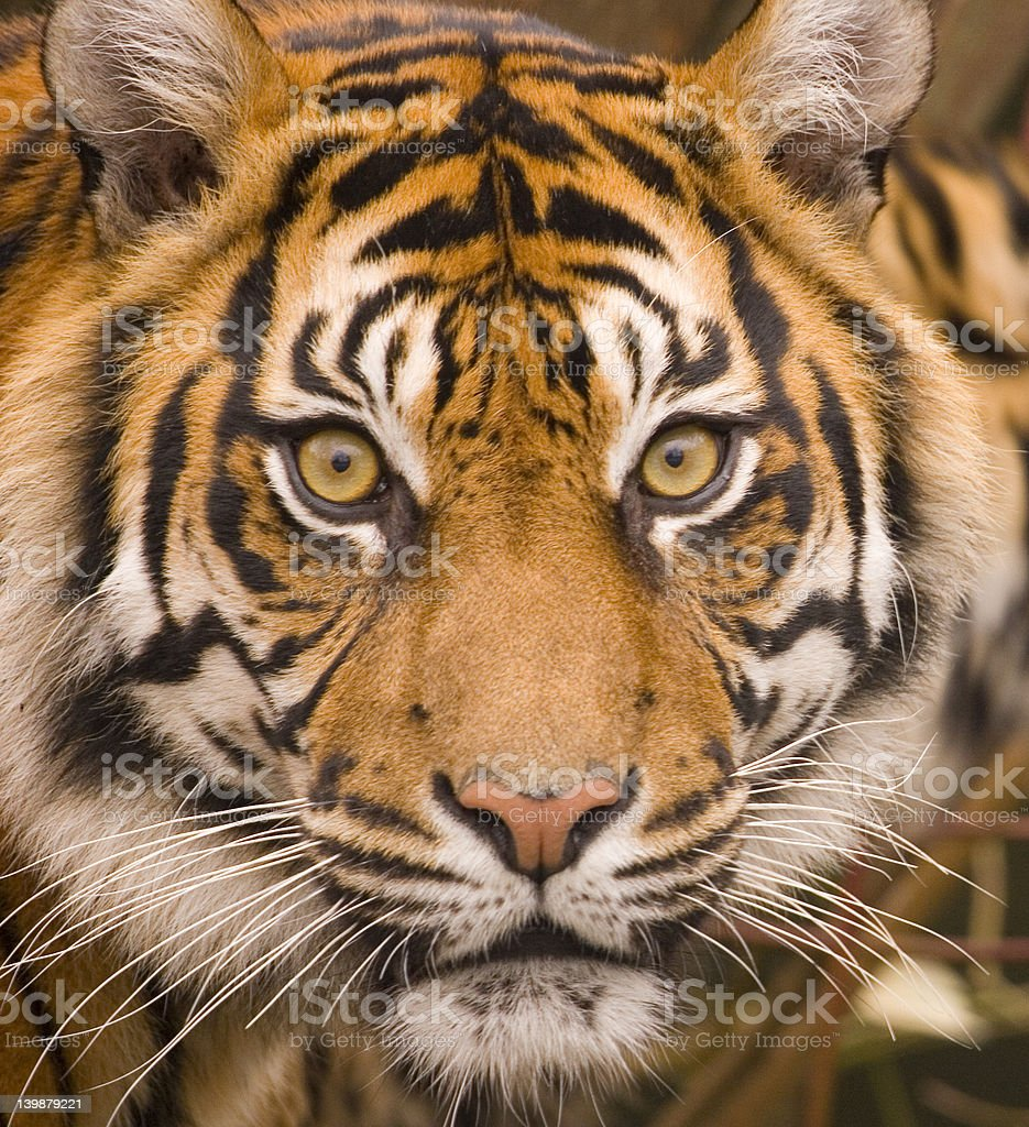 In the eye of the tiger royalty-free stock photo
