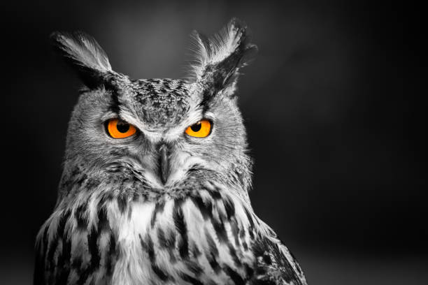 dans les yeux du hibou - animal eye stock pictures, royalty-free photos & images