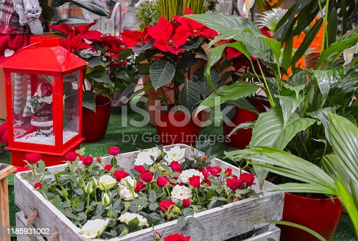istock In the flower shop on Christmas eve: a wooden box with roses in red and white, bright red poinsettia in bright pots, a lantern with a figure of Santa, spatifillum and other green flowers 1185931002