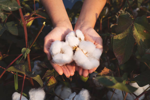 In the hands of the cotton grower harvested cotton USA, Cotton, Hand, Crop - Plant, Harvesting cotton stock pictures, royalty-free photos & images