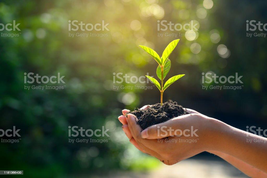 在樹木的手中種植幼苗。博克綠色背景 女性手捧樹在自然田間草林保護理念 - 免版稅一個人圖庫照片