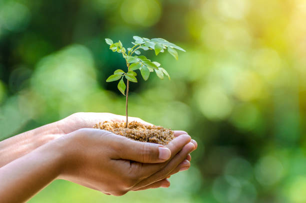 in the hands of trees growing seedlings. bokeh green background female hand holding tree on nature field grass forest conservation concept - piantare foto e immagini stock