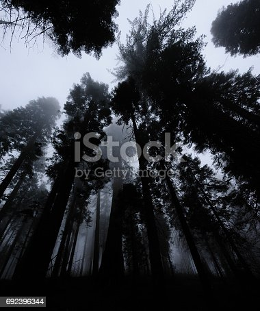 Black and White, low angle shot of a group of Giant Sequoia Trees shrouded in Mist: Sequoia National Park, California, USA.