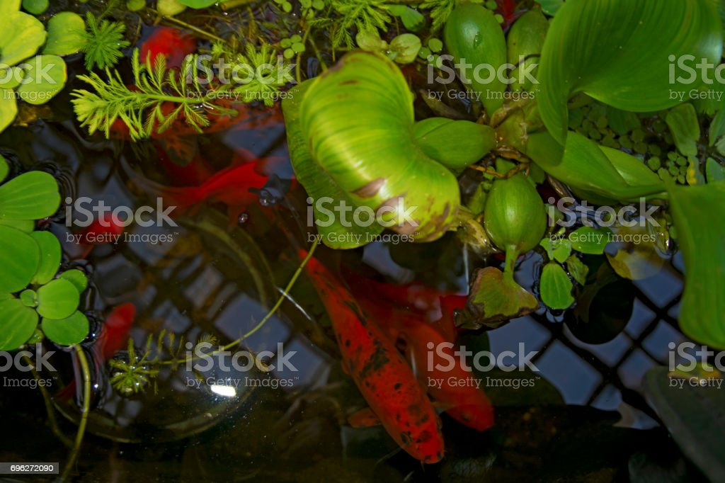 in the reservoir float red fish, look through the water lilies stock photo