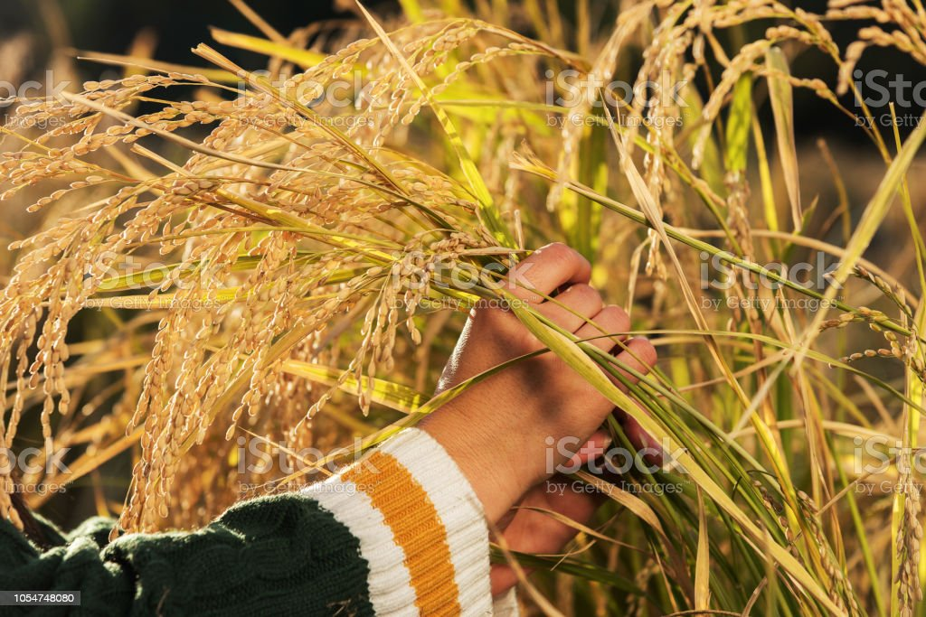 In the rice field, holding the rice in both hands, ready to harvest, stock photo
