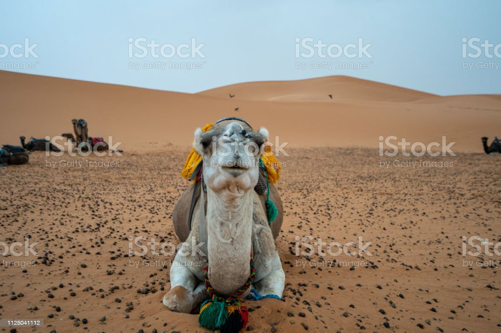 In the Sarah of Morocco, Camels are used as transportation devices stock photo