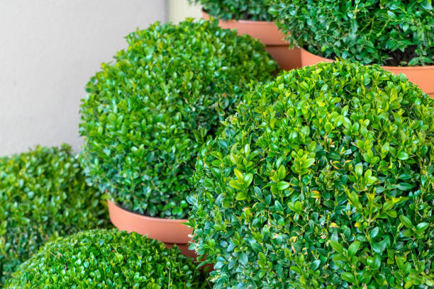 in the shape cut boxwood stock photo