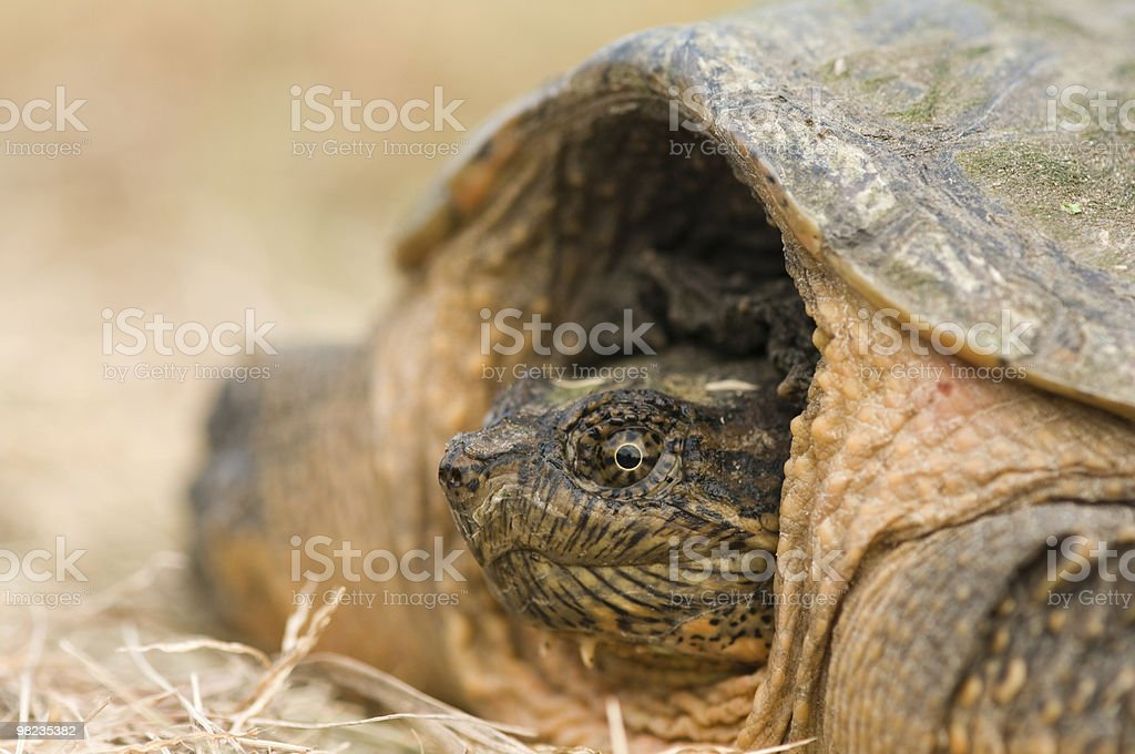 in the shell royalty-free stock photo