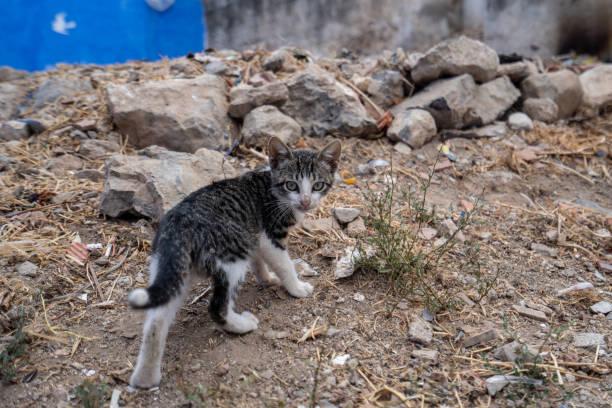 シャウエンの郊外に小さな猫がカメラ、モロッコから離れて実行されています。 ストックフォト