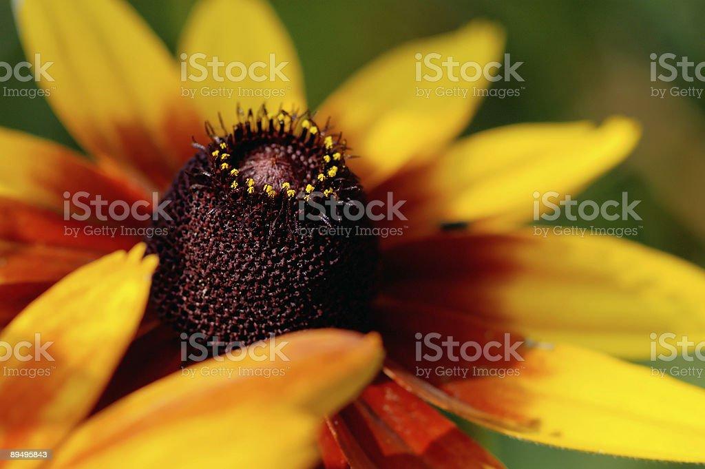 In the sunflower black heart royaltyfri bildbanksbilder