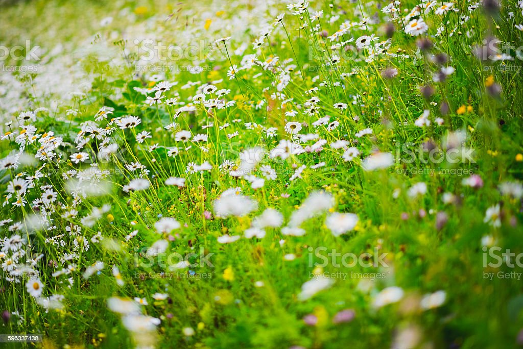 In the thick of a chamomile meadow, closeup royalty-free stock photo