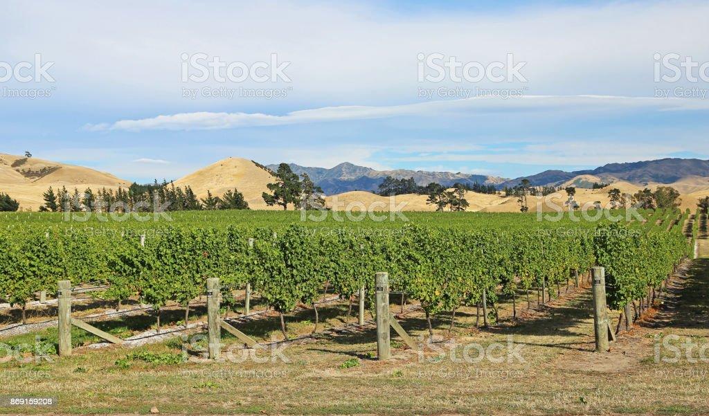 In the vineyard stock photo