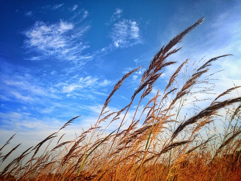 Stalks of long grasses blowing in an autumn breeze