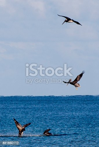 Pelicans diving for food off the Florida coast.
