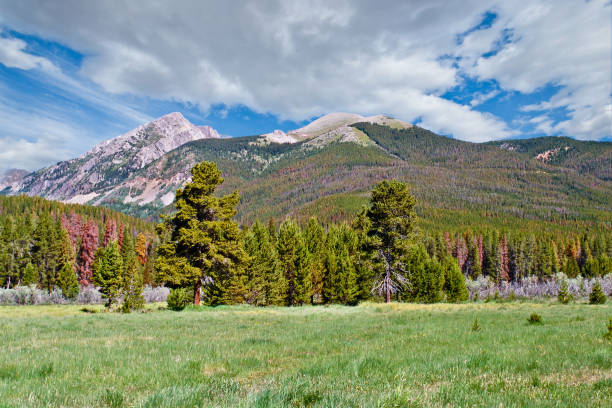 Bark Beetle Damage in the Rocky Mountains stock photo