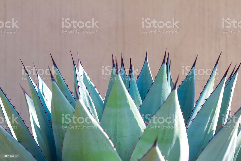 In Unison: Sharp Leaves of Blue Agave (American Aloe) Plant stock photo