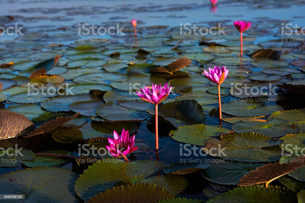 In view of the lotus pond. stock photo