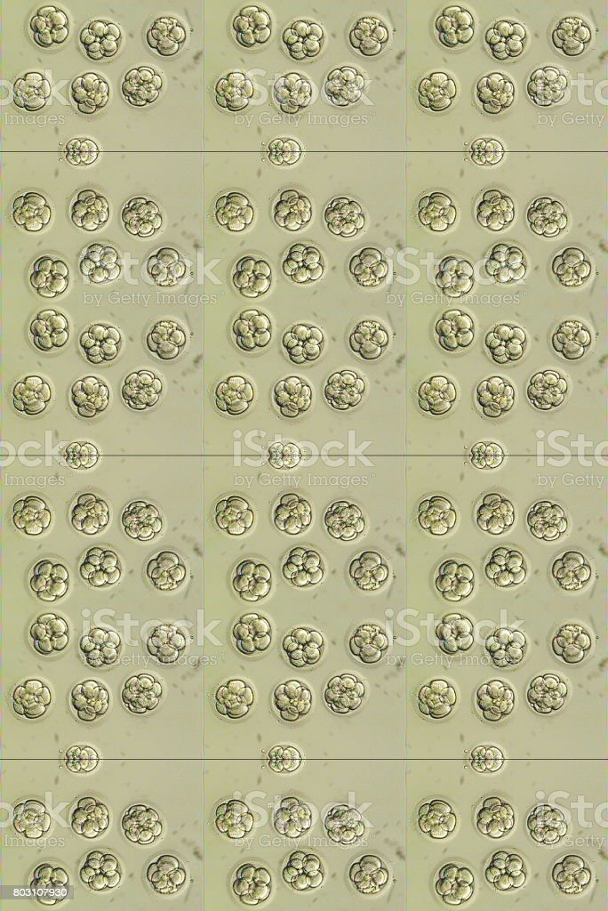 In vitro fertilization embryos three days old before transfer foto stock royalty-free