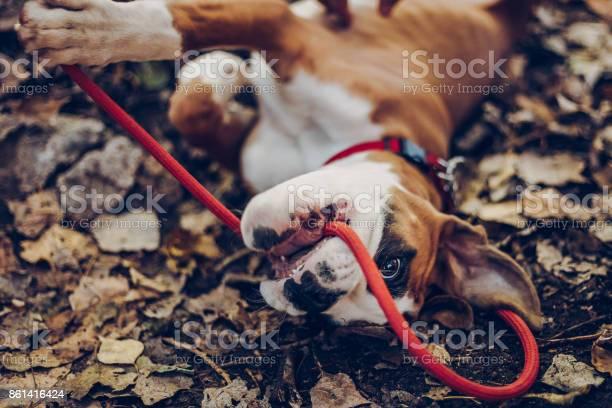 Spaziergang Mit Niedlichen Welpen Stockfoto und mehr Bilder von Beschaulichkeit