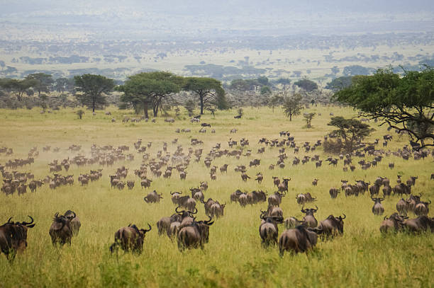 in wildlife sanctuary in the african savannah, herds of blue wildebeest migration wildebeest running stock pictures, royalty-free photos & images