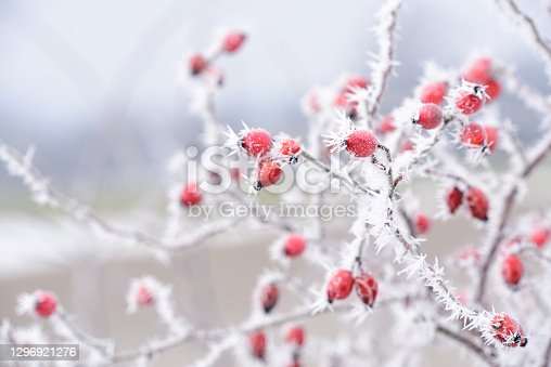istock In winter when there is frost and sub-zero temperatures, a bush with rose hips is covered with ice and ice crystals 1296921276