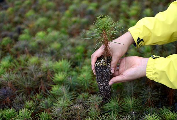 in your hand, the pine tree seedlings - herbebossing stockfoto's en -beelden